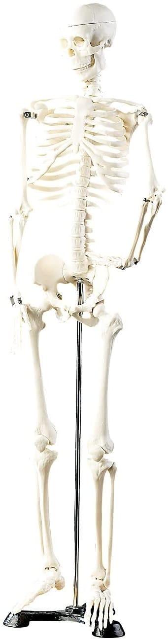 squelette corps humain avec organes à monter jouet squelette jeux de squelette humain gratuit squelette humain à monter jouet